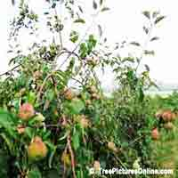 Apple Fruit Tree Pictures: Apples in the Apple Tree Orchard | Tree:Apple+Fruit @ TreePicturesOnline.com