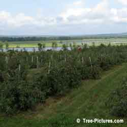 Apple Trees, Apple Tree Orchard; Fruit Trees Prunned & Growing on an Apple Tree Farm