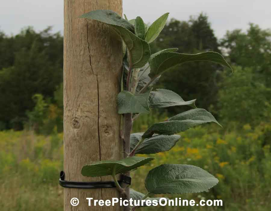 Apple Sapling: Young Apple Tree Growing in the Orchard