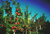Apple Tree, Picture of a Red Apple Tree Orchard