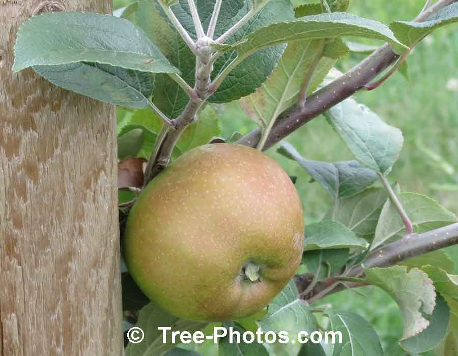 Apple: Picture of a Brown Russet Apple Variety