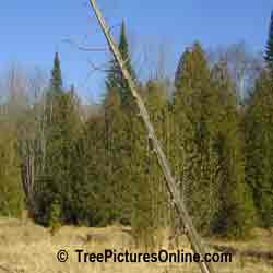 Cedar Tree: Cedars in the Lowlands of the Forest