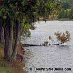 Cedars: Branch of Eastern White Cedar Tree Growing on the River