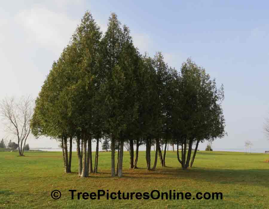 Cedar Tree Landscaping: Branches Trimmed up on Park Cedar Trees