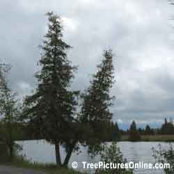 Cedar Trees; One or Two Cedars by the River