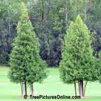 Cedars: Red Cedar Trees on the Golf Course | Tree:Cedar @ TreePicturesOnline.com