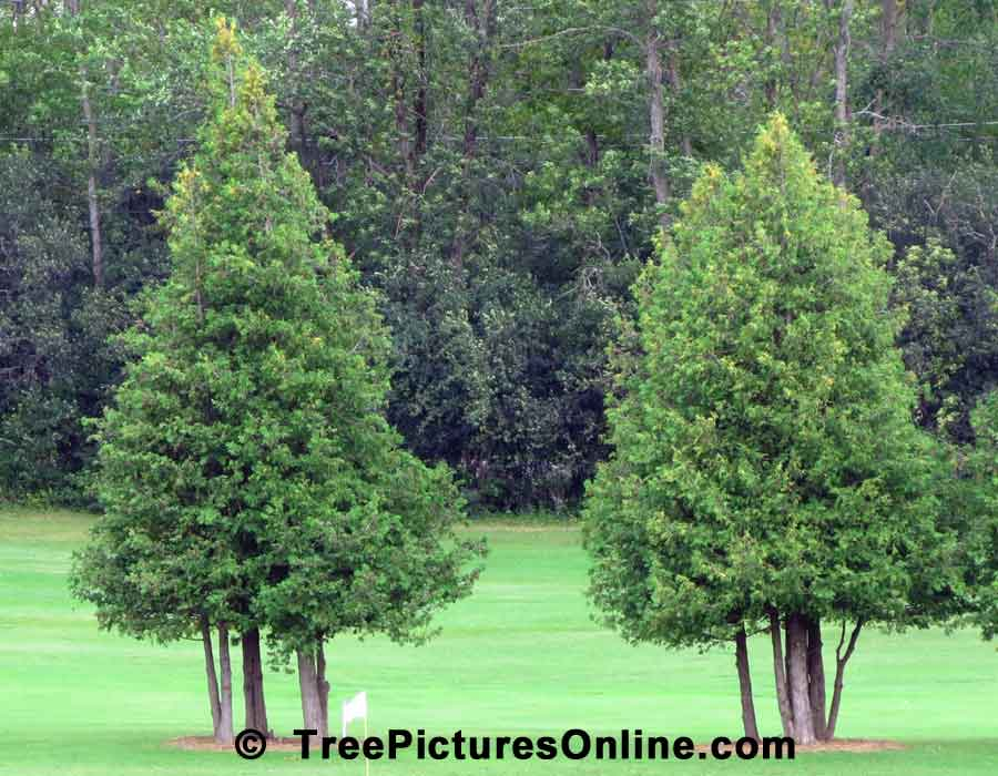Cedar Trees, Two Ornamental Cedars Used in Landscaping Golf Course