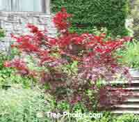 Japanese Maple: Type of Maple Tree Picture, Blood Red Species