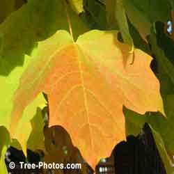Maples Leaf, Yellow Maple Tree Leaf in Autumn Colors | Tree:Maple+Leaf @ TreePicturesOnline.com