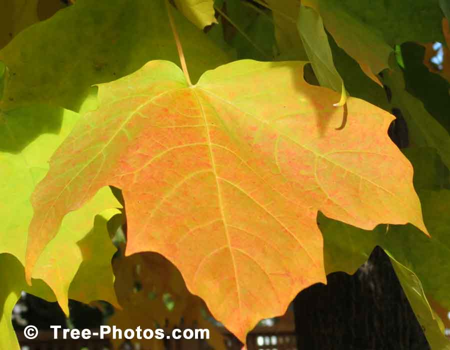 Maples Leaf, Yellow Maple Tree Leaf in Autumn