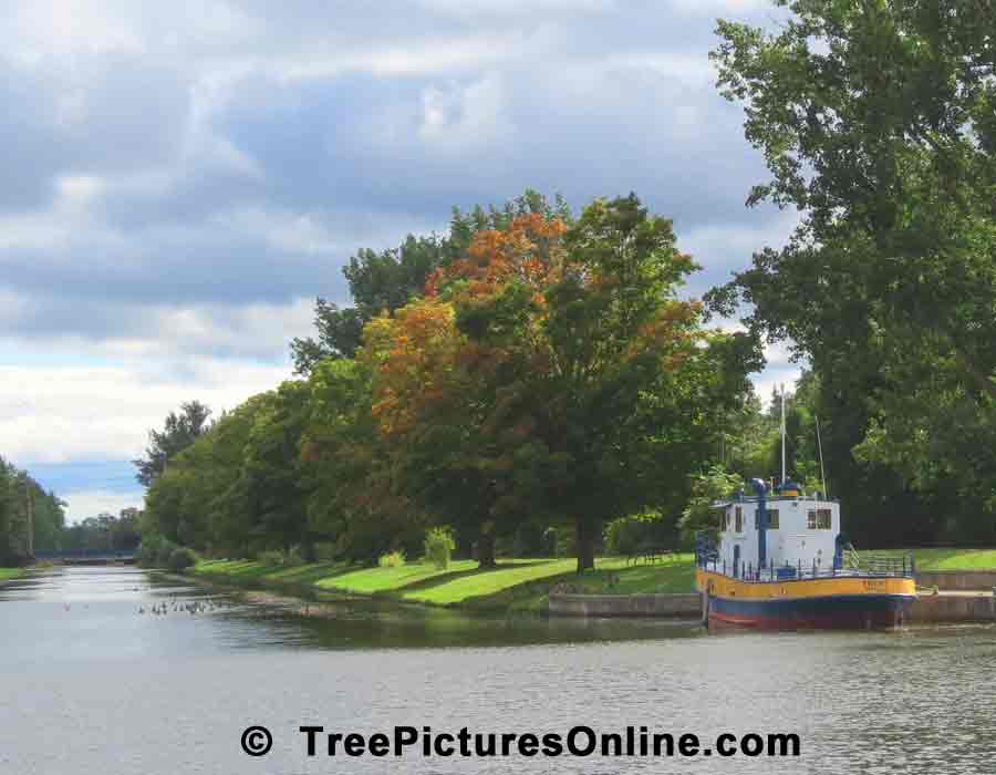 Maples: Maple Trees on the Canal