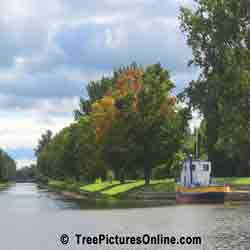 Maple Tree Pictures: Maple Trees on the Canal, Peterborough,ON, Canada | Tree:Maples @ TreePicturesOnline.com