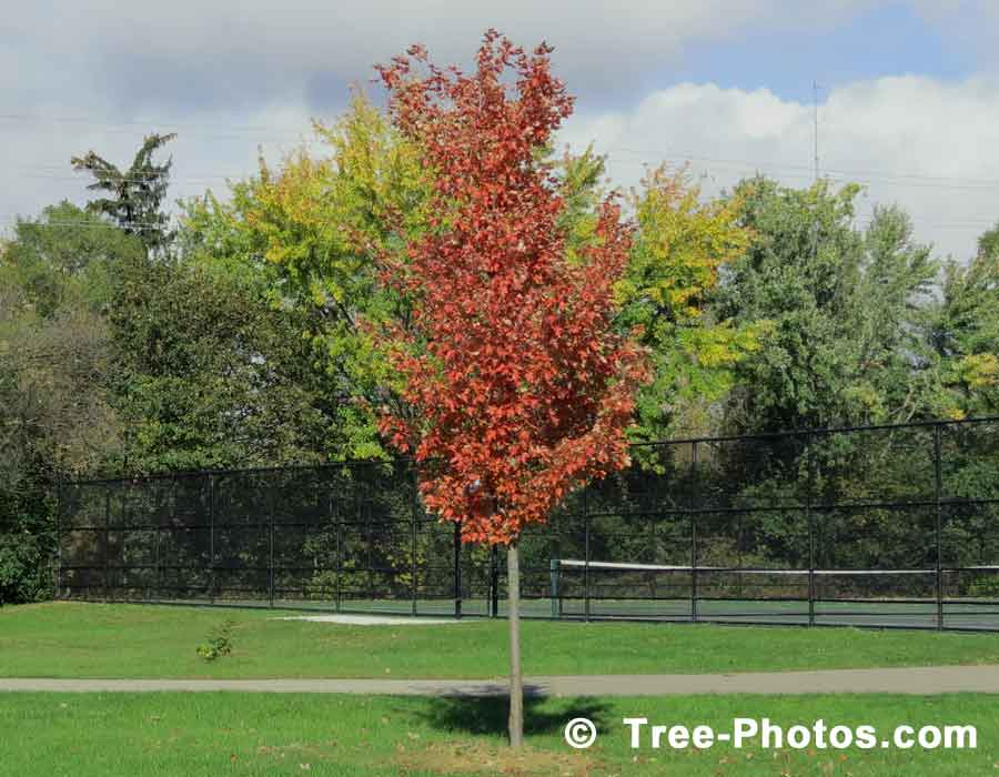 Maples: Red Maple Tree