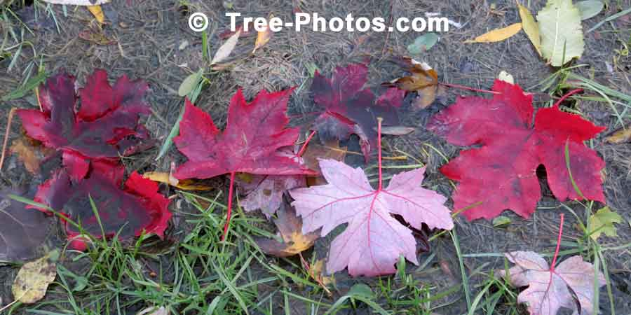 Maple: Red Maple Leaves in the Fall