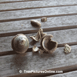Acorns Fallen from an Oak Tree | Tree+Oak+Acorn @ Tree-Pictures.com