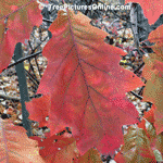 Oak Tree, Red Oak Leaf in Fall | Tree+Oak+Red+Leaf @ Tree-Pictures.com