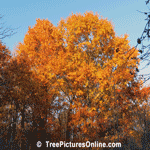 Fall Oak Trees showing Beautiful Autumn Oranges | Tree+Oak+Red+Leaf @ Tree-Pictures.com