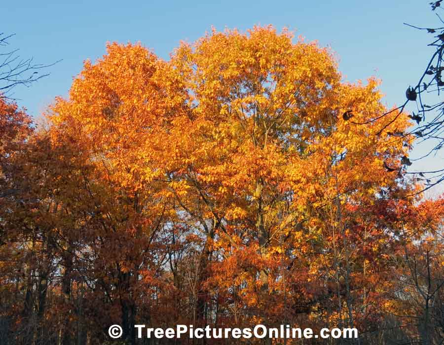 Oaks, Fall Oak Trees showing Beautiful Autumn Oranges
