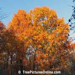 Oak Tree Pictures: Autumn Oak Trees showing Beautiful Autumn Oranges