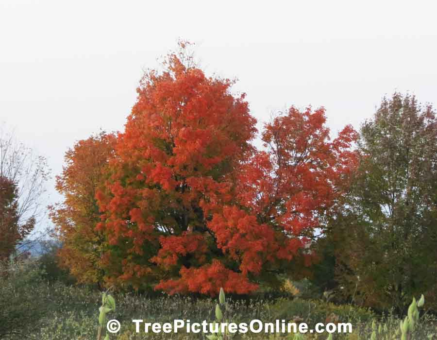 Oaks: Fall Red Oak Trees