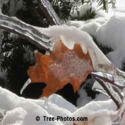 Pictures of Oak Trees: Winter Red Oak Leaf after Ice Storm Closed Up Photo