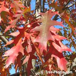 Oaks, Red Oak Leaves in Fall Color