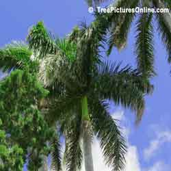 Palm Trees, Close Up Picture of Palm Tree Growth, Image of Palm Tree Growth, Palm Tree Leaves, Bermuda