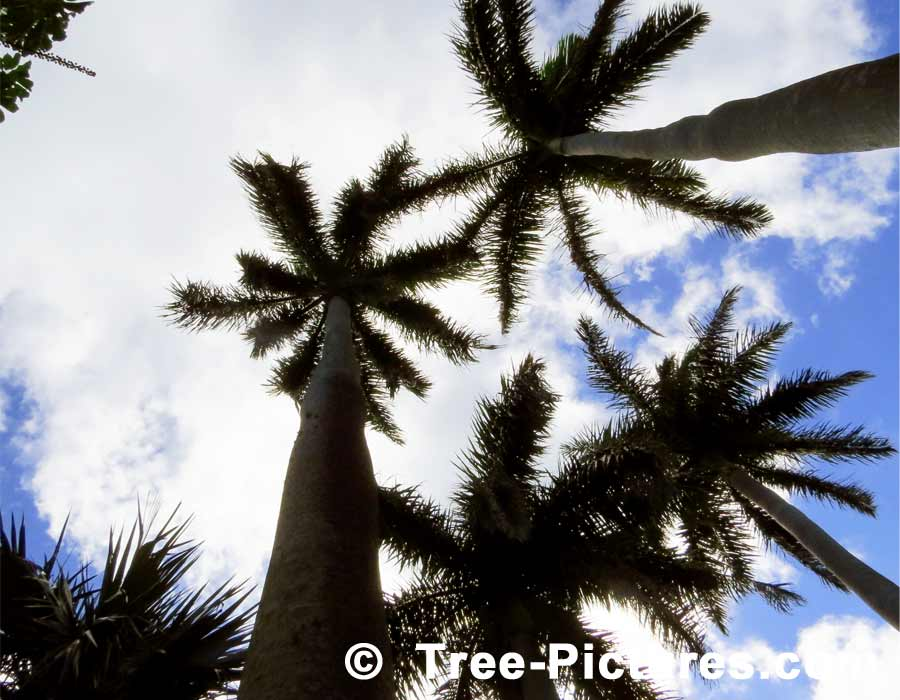 Palms, Three Royal Palms in Bermuda Sky