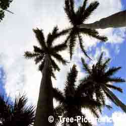 Palmen, Drei Royal Palms in Bermuda Sky