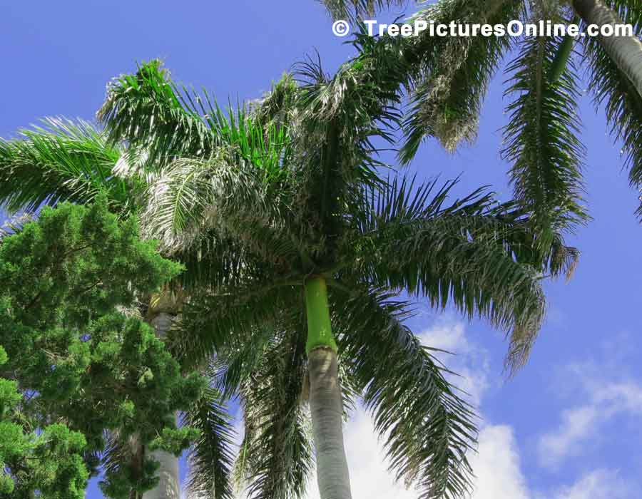 Palm Tree, Underside of Palm Leaves