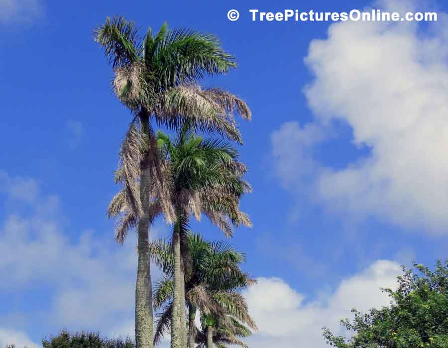 Photo of Palm  Trees Needing a Pruning or Trim, Bermuda