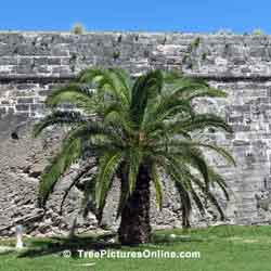 Palm Tree, Palm Tree Growing Against Stone Fort Wall, Bermuda Dock Yards