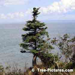 Pine: Pine Tree on Bay of Fundy, New Brunswick, Canada