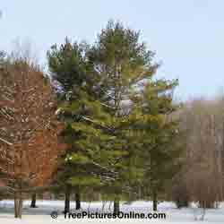 Pine Tree Pictures: White Pine Tree Variety