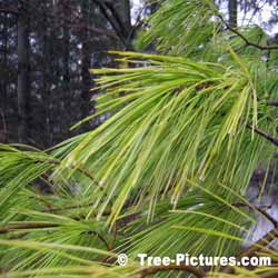 White Pine, Needles of the White Pine Tree