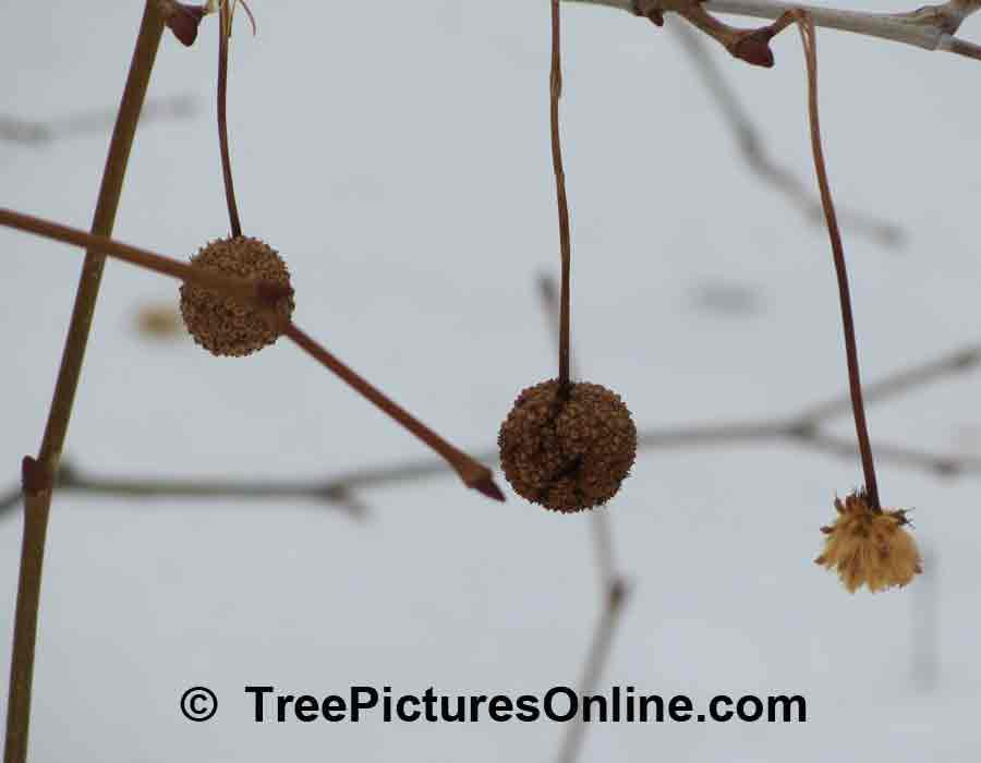 Sycamore Tree Fruit: Winter Picture of Sycamore Fruit
