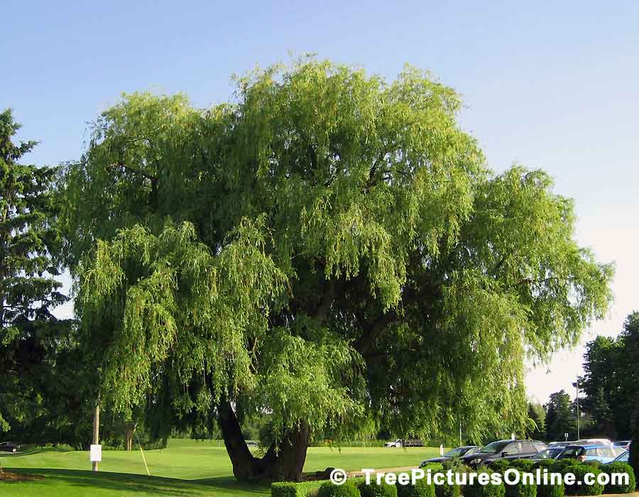 Willows: Impressive Willow Tree at the Golf Course