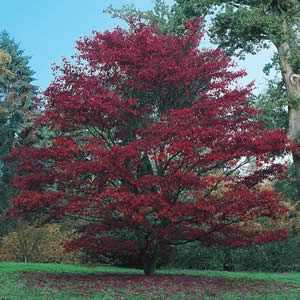 Maple Tree Pictures Images Photos Info On The Maple Tree Species