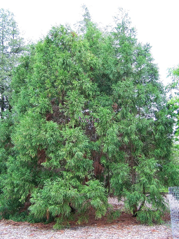 Japanese Cedar Tree: Pictures, Images, Facts On Japanese ...