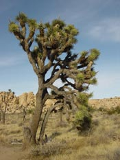 Joshua Tree Picture