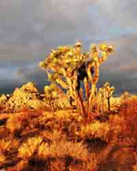 Tree Photos, Joshua Trees Photo
