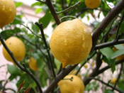 LLemon Tree Pictures, Juicy Lemons Picture