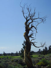 Juniper Tree: Picture of an Old Twisted Juniper Tree