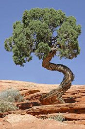 Juniper Tree Photo: Growing Juniper Trees Surviving on Rocky Terrian