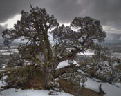 Pictures of Juniper Trees: Juniper tree in winter