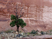 juniper tree photo