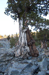 juniper tree picture