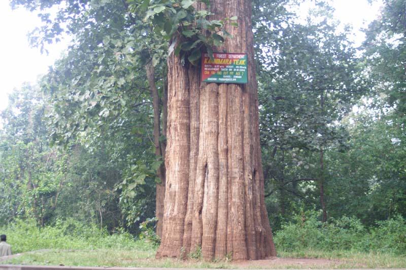 Teak Tree Pictures