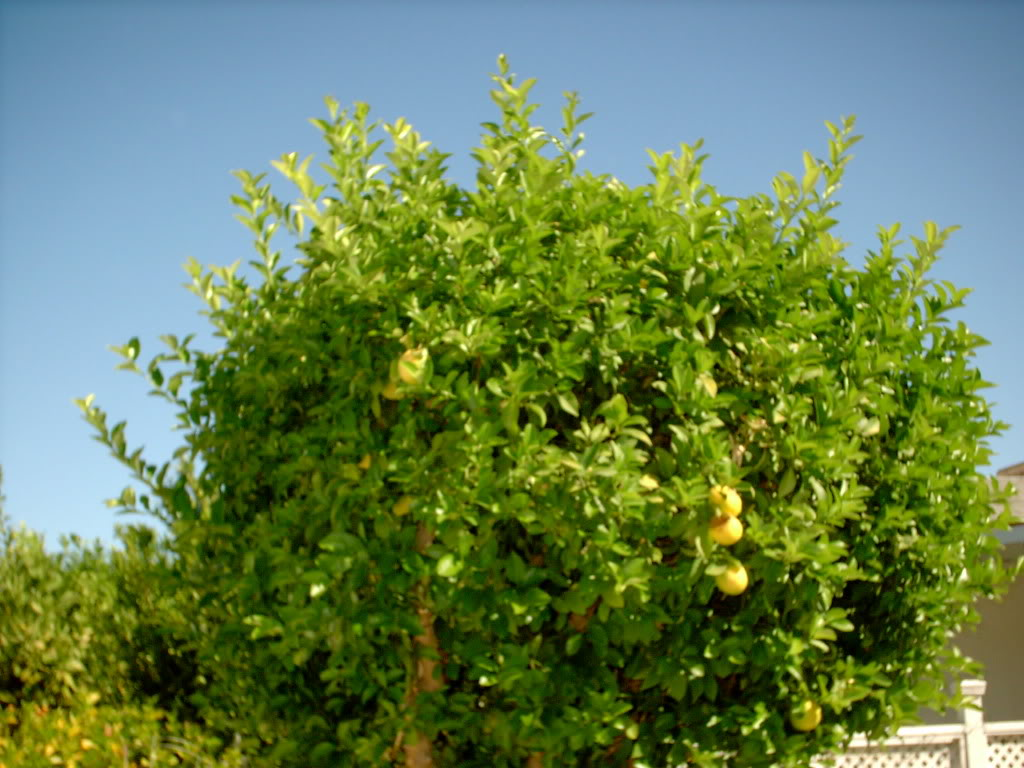 Lemon Tree Pictures, Photos, Images & Facts on Lemon Trees