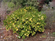 lemon tree pic